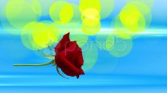 red rose in the air - Stock Footage   by agusacosta