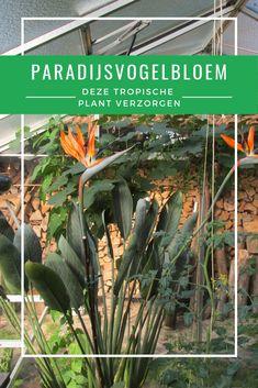 Strelitzia (paradijsvogelbloem) is een mooie tropische plant met prachtig blad en kleurrijke bloemen. Maar hoe verzorg je zo'n plant in het niet-tropische Nederland? Dat leggen we uit in dit artikel. Tropical Plants, Cactus Plants, Flora, Meet, Social Media, Gardening, Future, Ideas, Exotic