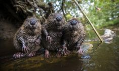 3 Beavers chilling by the water - Imgur