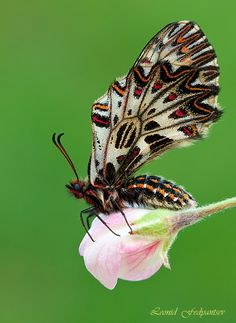 Southern Festoon on wild apple bud by a gifted photographer.  You cannot pose these kinds of photos.