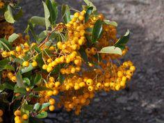 Order yours from online today. Common Names, Evergreen, Shrubs, Orange, Fruit, Shrub