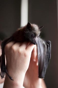 If you think that bats are vampires in disguise, look at these bat pictures which shows they aren't vampires but cute furry little creatures. Bats, the Gato Animal, Mundo Animal, Animals And Pets, Baby Animals, Cute Animals, Wild Animals, Beautiful Creatures, Animals Beautiful, Baby Bats