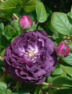 Gallica Rose: Rosa 'Cardinal de Richelieu' (Belgium, before 1847)