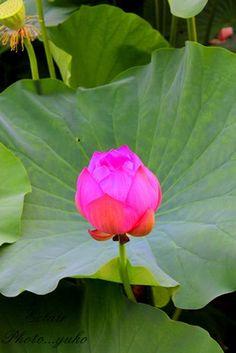 不忍池の蓮の花 3