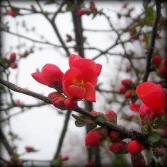 木瓜の赤:魚の庭 <2013-03-20>