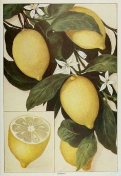 Vintage lemon illustration