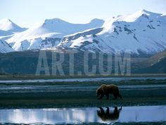 A Grizzly Bear Walks on a Mud Flat Photographic Print by Joel Sartore at Art.com