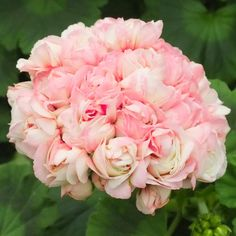 Geranium Appleblossom Rosebud