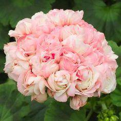Geranium Apple Blossom - Latest Offers - J. Parkers