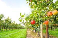 Stropirea pomilor fructiferi: când și cum se face - BASF Divizia Agro