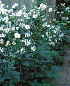 Fall-Blooming Anemones: tolerates shade, divide and plant in early spring: