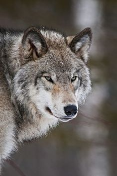 earth - earth Timber Wolf by Michael Cummings Wolf Photos, Wolf Pictures, Nature Photos, Beautiful Wolves, Animals Beautiful, Wolf Photography, Wildlife Photography, Wolf Spirit Animal, Fox Animal