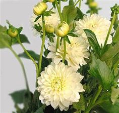Dahlia WhiteMayesh Wholesale Florists - Search our Flower Library