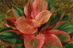Cordyline 'Dwarf Hawaiian Rose'- The International Cordyline Society
