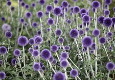 10 planter, urter og grøntsager du skal plante i maj måned Allium Flowers, Purple Flowers, Purple Plants, Rare Flowers, Garden Beds, Garden Plants, Fruit Garden, House Plants, Flowers That Attract Butterflies