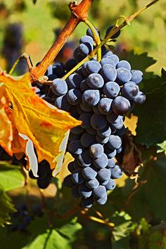 Grapes on the vine how divine..