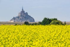 A rapeseedfield (Brassica napus) near Mont Saint-Michel, France [1024 x 683]
