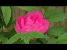 Peony Garden Treasure (Itoh Hybrid) - www.peonyshop.com - YouTube