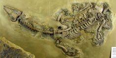 Nothosaurus raabi fossil at the Museum für Naturkunde, Berlin