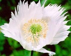 Persian White Poppy - Papaver Paeoniflorum