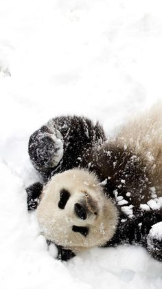 Panda in the snow.                      ••••(KO) Livin' large. Pampered and coddled due to rarity and endangered status. The world would be a sadder place without this little buddy.