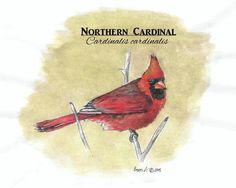 Original artwork created by Erin Crumpler for Friends of Coppell Nature Park (c) Northern Cardinal, Original Artwork, Rooster, Birds, Park, Create, Friends, Nature, Animals