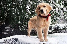 christmas puppy.
