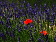 Poppy, Flowers, Red, Blue, Samuel