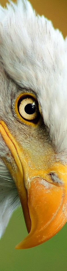 Image via Bald Eagle -- An eagle's eye is almost as large as a human's, but its sharpness is at least four times that of a person with perfect vision. Love Birds, Beautiful Birds, Animals Beautiful, Beautiful Pictures, Rapace Diurne, Regard Animal, Animals And Pets, Cute Animals, Fierce Animals