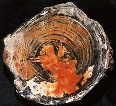 Holbrook Picture Wood Agate