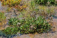 Siempreviva de Lobos (Limonium ovalifolium spp. canariense)
