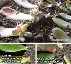 Propagating Succulents via Needles + Leaves. How to propagate succulents from leaves and cuttings. Pearl Pearl Liu Canady I'm coming for your succulents! Propagate Succulents From Leaves, Cacti And Succulents, Planting Succulents, Planting Flowers, Growing Succulents, Succulent Gardening, Container Gardening, Gardening Tips, Air Plants
