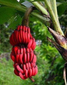 Red bananas.