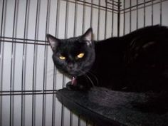 Peaches is an adoptable Domestic Short Hair-Black Cat in Richmond, VA. Dont let the less than stellar pictures fool you - Peaches and Sweetie are loving and beautiful girls! They are looking for a ne...
