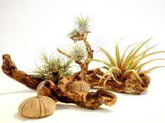 #plantasdeaire #airplants #tillandsias #evergreenlanzarote #livingart #seahurchins #erizosdemar #recycledseawood