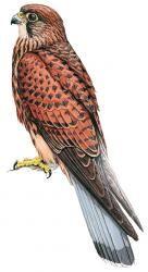 Spotted Kestrel (Falco moluccensis)