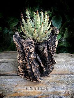 Aloe Erinacea in a pot by Brian Paul Design.
