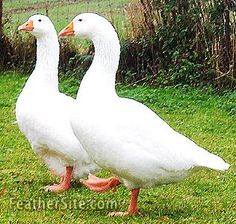 The Leinegeese were developed in the vicinity of Oldenburg in Germany. It is a medium-sizd goose which forages well and can travel long distances