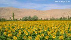 مزرعه افتابگردان روستای پیرکندی - خوی