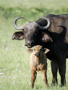 Cape Buffalo with its Calf in a Field, Lake Nakuru National Park, Kenya Photographic Print at AllPosters.com
