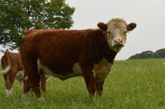 Our Miniature Hereford herd Mini Hereford, Miniature Hereford, Hereford Cows, Farm Animals, Animals And Pets, Cute Animals, Types Of Cows, Mini Cows, Tes