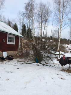 Peacock in Swedish winter
