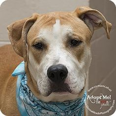 Urgent! I am at a full, high kill shelter in Troy, OH - Pit Bull Terrier Mix. Meet Niles, a dog for adoption. http://www.adoptapet.com/pet/15755802-troy-ohio-pit-bull-terrier-mix