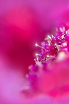 Magenta / Fuchsia - Super macro photography (© Birgit H. Magenta, Couleur Fuchsia, Pink Purple, Lilac, Hot Pink, Pink Love, Bright Pink, Pretty In Pink, Macro Flower