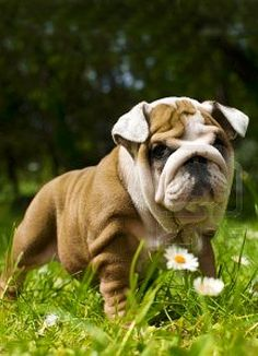 English Bulldog  WorldofBulldog