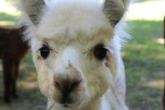 Date: 10 June, 2017. Time: 10:00am - 1:00pm  Lilymoore Alpaca Farm Pleasant Valley -    New York - United States. Read more...