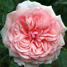 Rosie Lowing ®Les fleurs de 10cm de diamètre sont très pleines, de forme ancienne. Parfum de rose ancienne avec une note fruitée de poire juteuse et sucrée. Elles sont très résistantes à la pluie. L'arbuste au feuillage mat peut devenir imposant si vous ne le taillez pas.  Parents : Charles Austin × Unknown Nommée en l'honneur d'une grande dame qui était une grande jardinière et une amoureuse des roses dans la région. H150