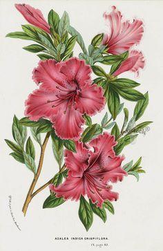 Azalea indica 1845 Charles Lemaire Flore des Serres et des Jardin Camellia, Azalea, Rhododendron Prints