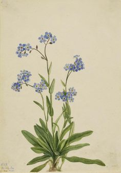 Mary Vaux Walcott, 1860-1940. Alpine Forget-me-not (Myosotis alpestris), 1924, watercolor on paper, 10 x 7 in. (25.5 x 17.8 cm). Smithsonian American Art Museum.