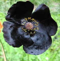 Corn Poppy 'Evelina' (Papaver rhoeas)
